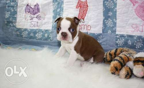 Boston Terria Puppy Aailable for Sale