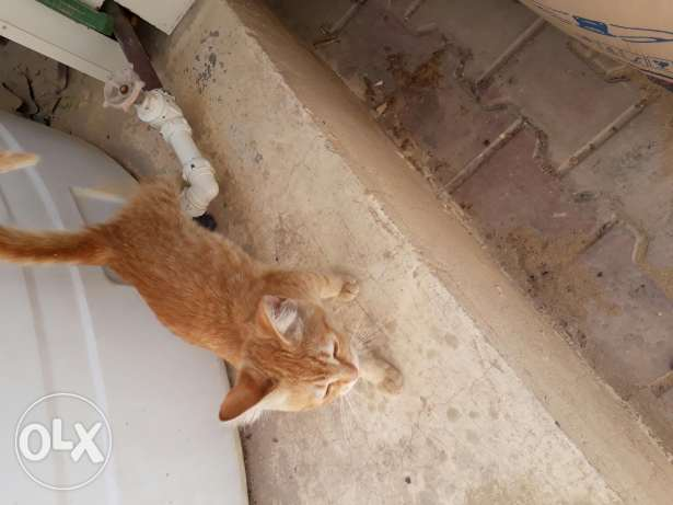 Orange cat love to play, eat, play football, and to water and milk