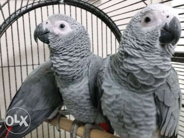 African grey parrots 9 months old