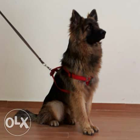 German Sheppard male