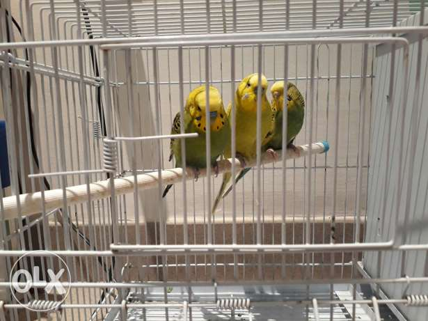 3 Love Birds with Cage