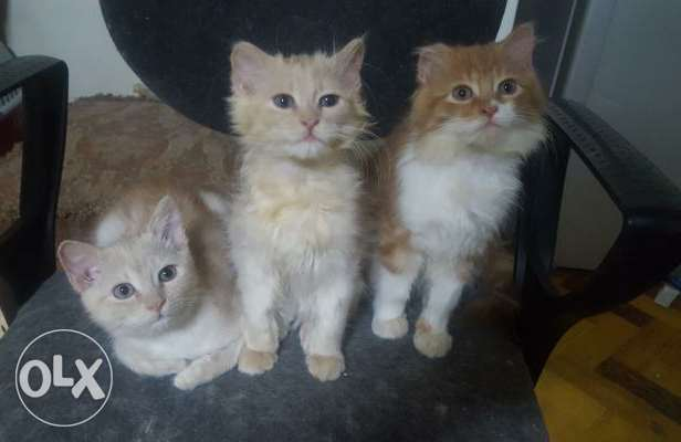 3 sherazi cats for sale