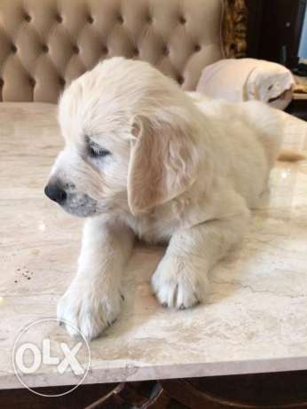 Pure Breed Golden Retriever puppies for sale (2 months old )