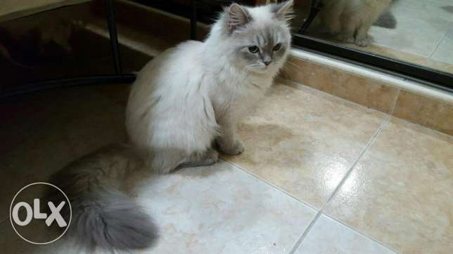 Male cats for mentain ذكور قطط للتزاوج