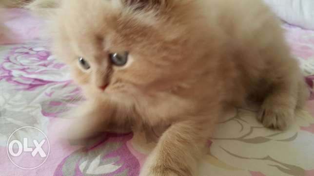 Shraze kitten for sale