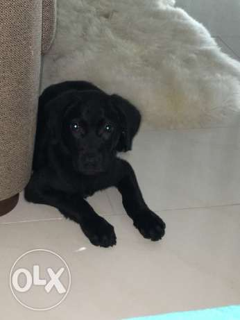 Labrador pupp for sale