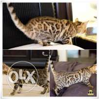 Bengal kittens and cat for sale