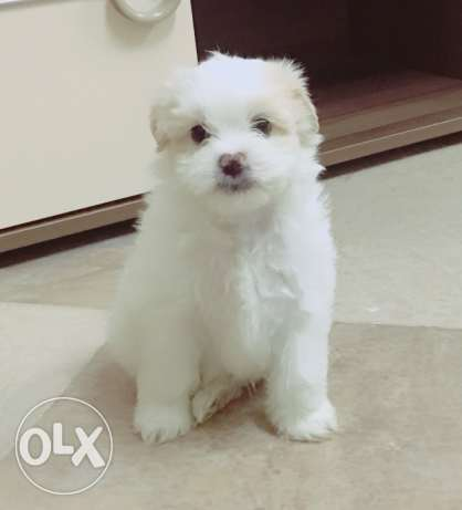 Maltese and havanese mix breed puppies for sale