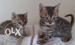 Brown Rosette Male & Female Kittens