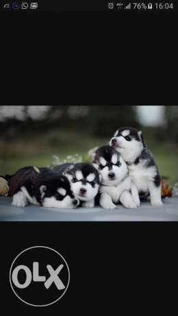 Looking for Puppies German or Husky