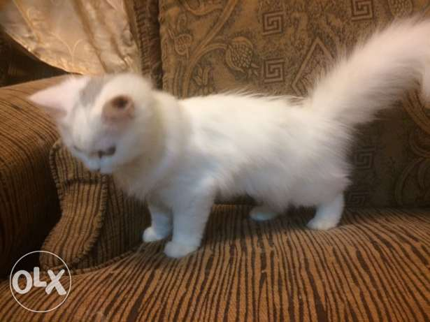 female cat 4 months الريان -  3
