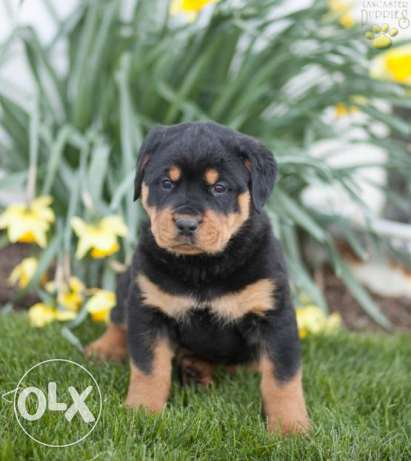 male and female rottweiler puppies free go