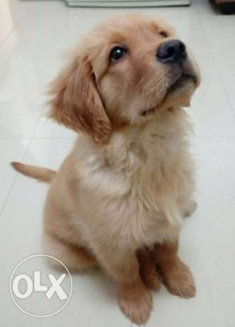 Pure Golden Retriever for sale