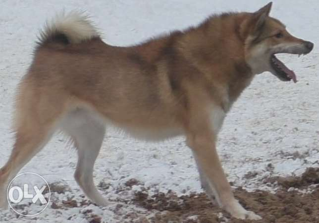 Selling West Siberian Laika male.
