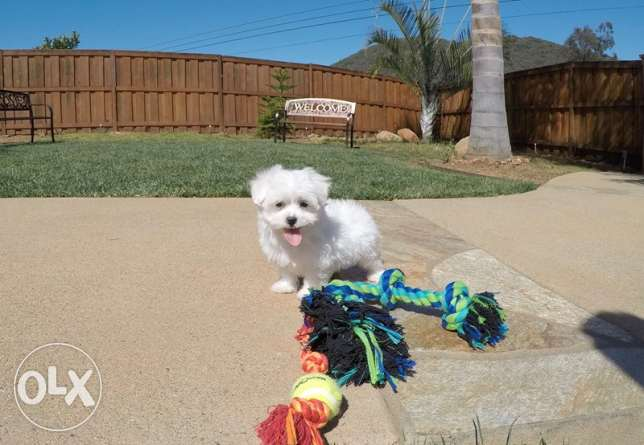 Healthy Maltese puppies now available for a lovely home
