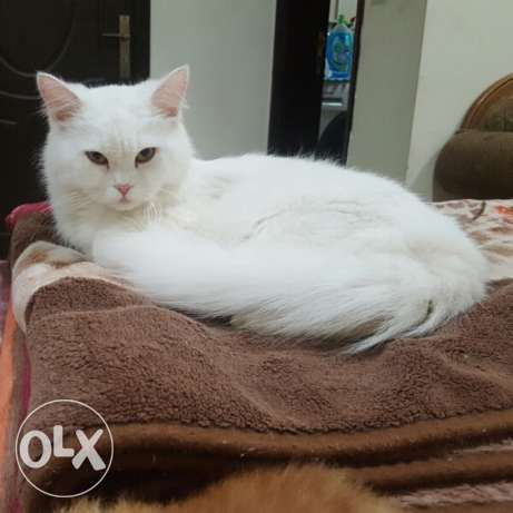 Pure white persian for sale بيور وايت شيرازي للبيع