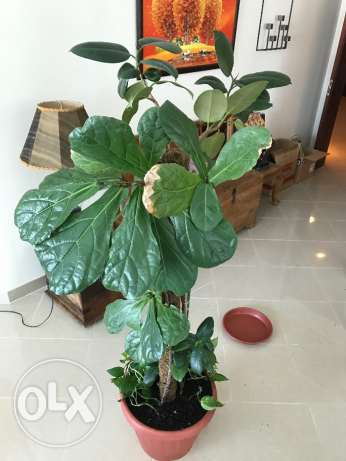 Indoor Plants - Unusual Rubber plants