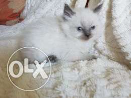 Ragdoll Kittens Pedigree And Vaccinated