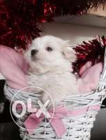 Tiny Show Quality Maltese Puppies