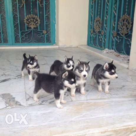 husky puppies in doha