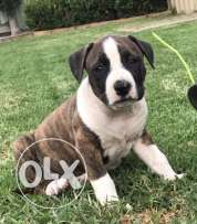 Pure english staffy puppies for sell
