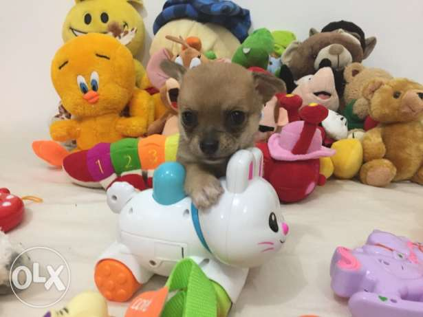 SUPER SALE PROMO/ Smallest tiny chihuahua puppy مطار الدوحة -  6