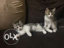 Kittens for sale 200each