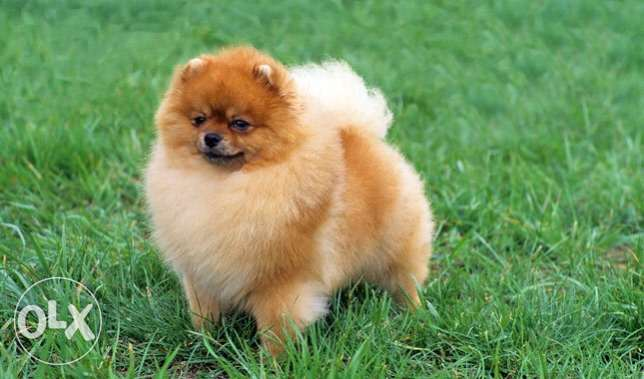 Pomeranian 2 months old puppy for sale negotiable