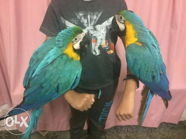 Harness Trained, Baby Blue and Gold Macaws