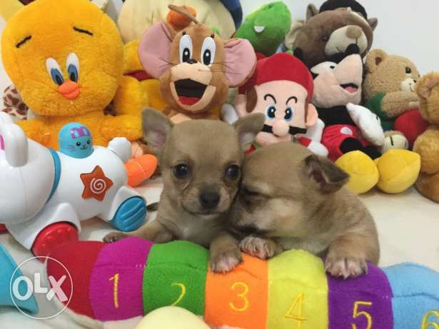 SUPER SALE PROMO/ Smallest tiny chihuahua puppy مطار الدوحة -  5
