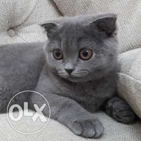 Cat for sale قطه للبيع