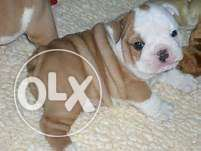 Beautiful Kc Reg British Bulldog Puppies For Sale
