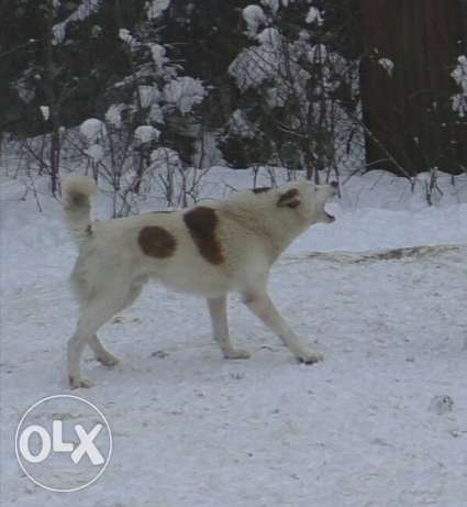 Selling West Siberian Laika.