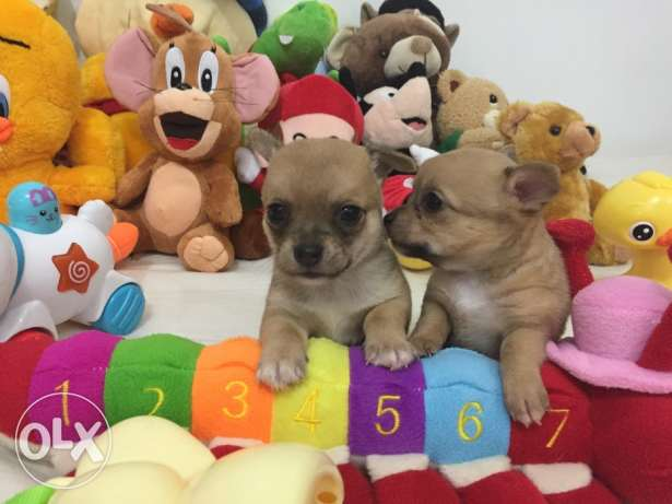 SUPER SALE PROMO/ Smallest tiny chihuahua puppy مطار الدوحة -  3