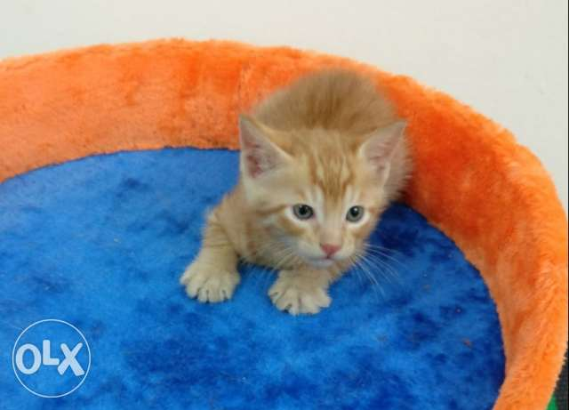3 Cute fluffy kittens for Adoption (40 days old)