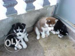 Mignonecite Blue Eyes and Socialized Siberian Husky Puppies