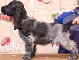 English Cocker Spaniel (Male &Female)
