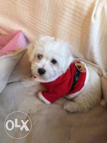 Handsome maltese available for adoption
