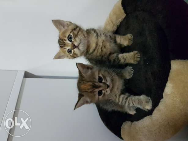 Cyberian Angora Mix breed pair of kittens for free adoption