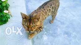 Loving Bengal cat for sale
