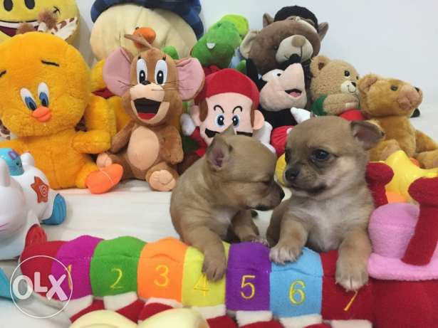 SUPER SALE PROMO/ Smallest tiny chihuahua puppy مطار الدوحة -  4