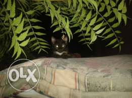 Black golden cat for sale قطة للبيع
