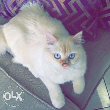 white handsome cat for sale