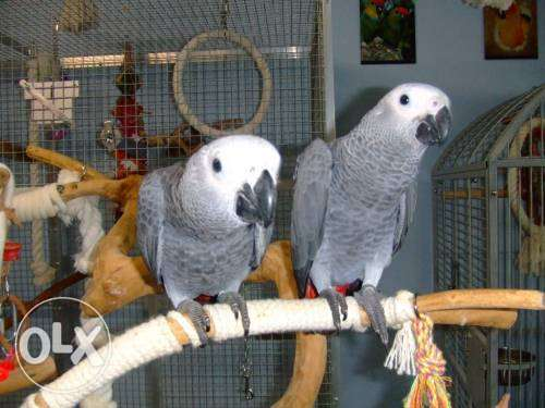 African Grey Parrots For Salex