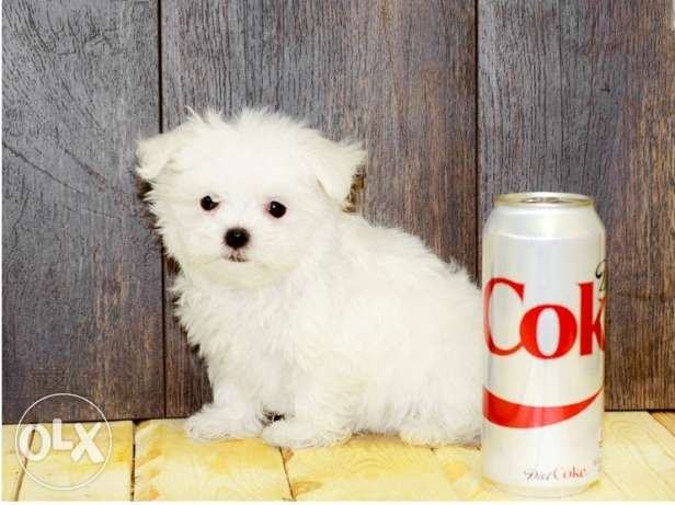 cute white and gorgeous bichon maltais puppies