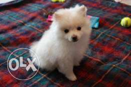 attractive Pomeranian female for sale