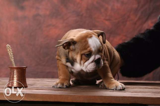 English Bulldog السد -  2