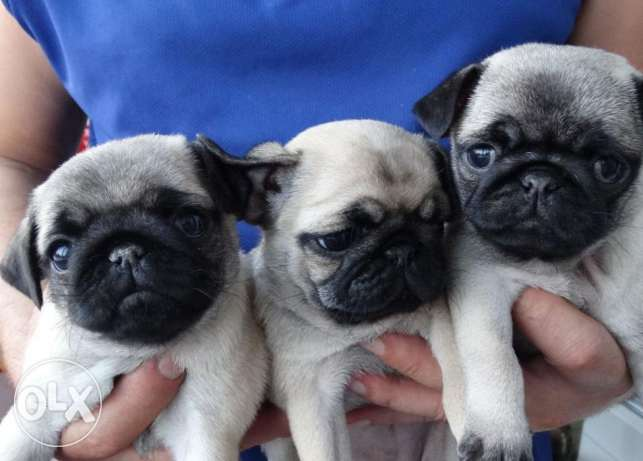 Pug puppies for rehoming (adoption)