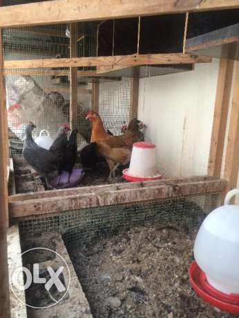 Dismantable and Re-erectable Chicken Coups, Aviary, Birds& Accessories الثمامة -  4