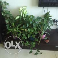 6 Medium Size Plants for sale